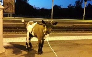 Yagoua (communiqué): deux chèvres ont été placées en fourrière