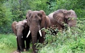 Extrême- Nord : les éléphants détruisent 14 hectares de champ…