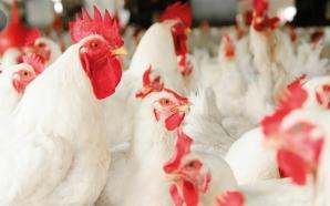 Pourquoi la plupart des éleveurs de poulets de chair en…